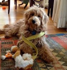 goldendoodle puppy virginia 7 best 4 8 weeks goldendoodle puppies from 2014 images on