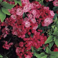 kalmia latifolia kalmia sarah kalmia latifolia gardens and shrub