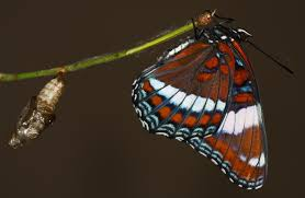 all of nature white admiral butterfly life cycle
