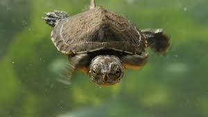 these crazy cute baby turtles want their lake back deep look