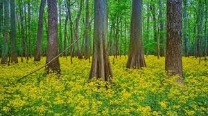 South Carolina national parks images Blooming butterweed in congaree national park south carolina jpg