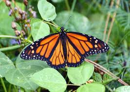 migrating monarch butterflies in