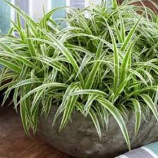 indoor plant 6 indestructible indoor plants sa garden and home