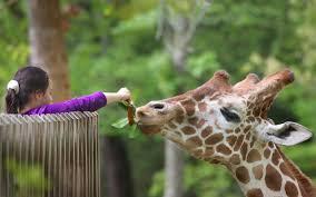 north carolina zoo acacia station giraffe deck