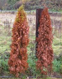 how to bring a dead plant back to life arborvitae what you need to know article