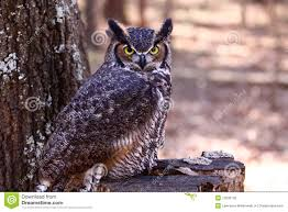 great horned owl on a tree stump stock photo image 12600130