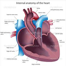 Heart Anatomy Arteries Human Anatomy Chart Page 201 Of 202 Pictures Of Human Anatomy Body