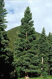 rocky mountain national park trees white spruce