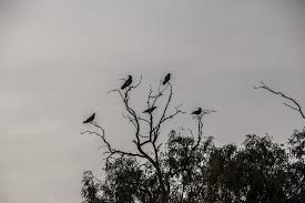 free photo bird black scary tree crows max
