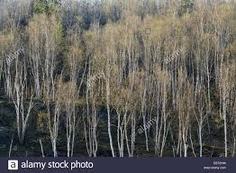 white birch trees in early greater sudbury ontario