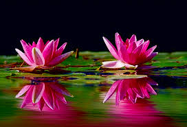 water lilies landscapes flushed nature water aquatic pink