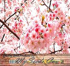 amazon com 10 japanese cherry tree pink cloud