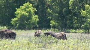Minneopa State Park Map by American Buffalo Bison Bison Minneopa State Park Minnesota Youtube