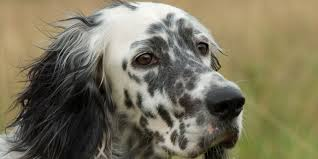types of setter dog breeds english setter information characteristics facts names