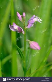 seneca snakeroot milkwort stock photos u0026 milkwort stock images alamy
