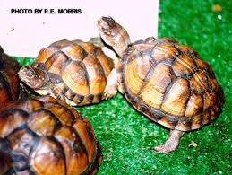 box turtle and care of hatchlings