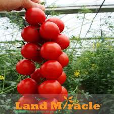 sweet string tomato seeds ornamental organic fruit tomato