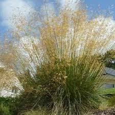 stipa gigantea ornamental grass garden perennial plant uk grown free
