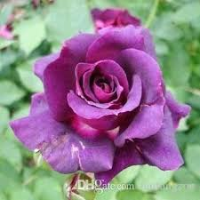 purple roses for sale purple and pink plant semerka1 club