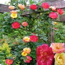 Fragrant Climbing Plant - 84 best climbing roses and more roses images on pinterest