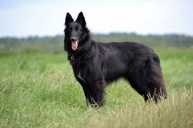 belgian sheepdog laekenois dog breeds groenendael