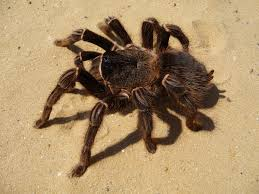 what eats spiders