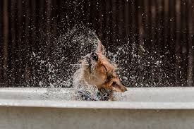 boxer dog t shirts uk keeping dogs safe in the summer how to keep dogs cool in the