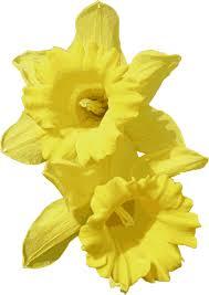 clipart daffodils
