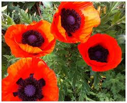 oriental poppy seed red poppy flower seeds papaver orientale 50