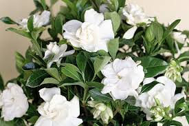 gardenia u2014how to grow gardenia indoors