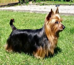 silky terrier hair cut australian silky terrier wikipedia