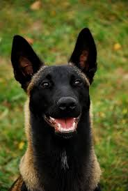 belgian shepherd usa belgian malinois google search magnificent animals pinterest