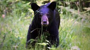 Indiana Wildlife images Wildlife agency officers chase off bear in northern indiana jpg