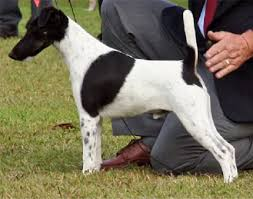 afghan hound breeders qld the pet directory australia world u0027s largest online pet directory