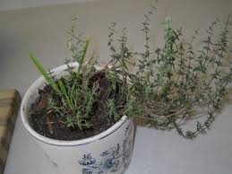 10 famous and easy herbs to grow indoor during winter make your