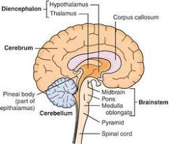 Thalamus Part Of The Brain Brain Marrow Definition Of Brain Marrow By Medical Dictionary