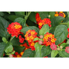 Yellow Orange Flowers - lantana annuals garden plants u0026 flowers the home depot