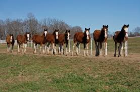 Budweiser Clydesdale Barn A Chance To Meet Future Stars Of The Budweiser Clydesdales Warm