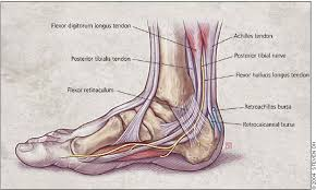 Anatomy Of The Calcaneus Diagnosing Heel Pain In Adults American Family Physician