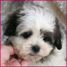 shichon haircuts shichon puppy 4 sale cross mixed breed puppies