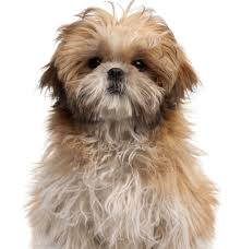 shih tzu with curly hair 10 dog breeds that shed the least dogs online