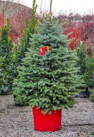 100 fresh cut christmas trees at menards a visit to the new