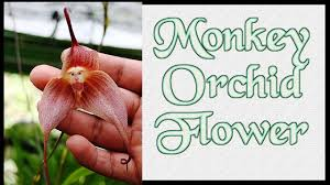 Monkey Orchid Top 10 Colorful Monkey Orchid Flower Ever You Seen Amazing