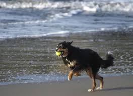 risk n hope australian shepherds dog friendly parks throw pet owners a bone sfgate