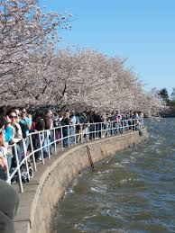 National Cherry Blossom Festival by 50 Magical Photos Of The National Cherry Blossom Festival In