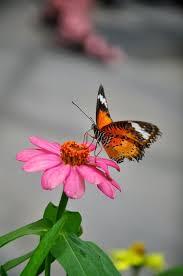 butterfly on zinnia flower papillons zinnias and