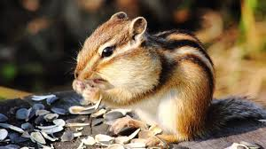 natural remedies rid chipmunks