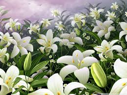 white lilies white lilies hd desktop wallpaper for 4k ultra hd tv wide