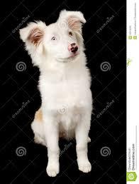 australian shepherd labradoodle white australian shepherd puppy royalty free stock image image