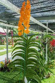 vanda orchids orange vanda orchidspick an orchid